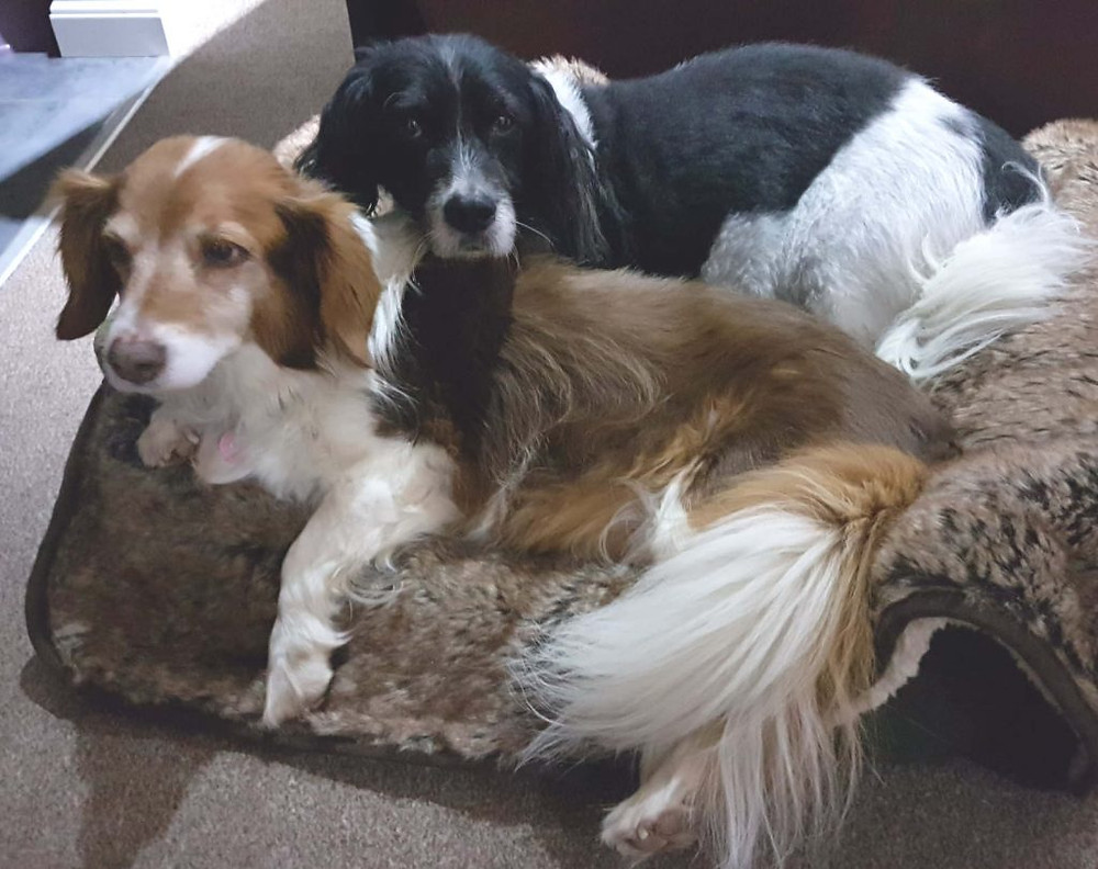 Two well exercised and happy dogs relaxing in an arm chair