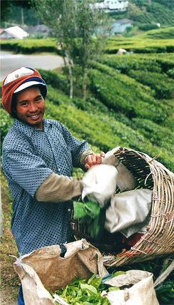 Tea picker in Malaysia