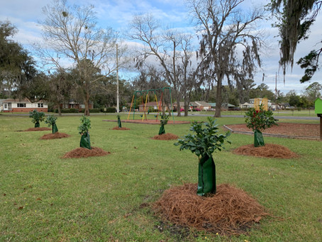 Brunswick Community Orchard Project Expands to Seven Citrus Groves