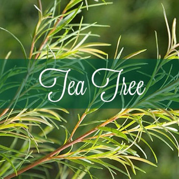 Common Scents: Tea Tree