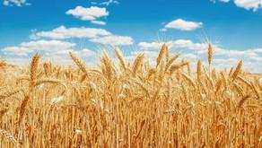 TMO, 300 bin ton buğday ithal edecek.