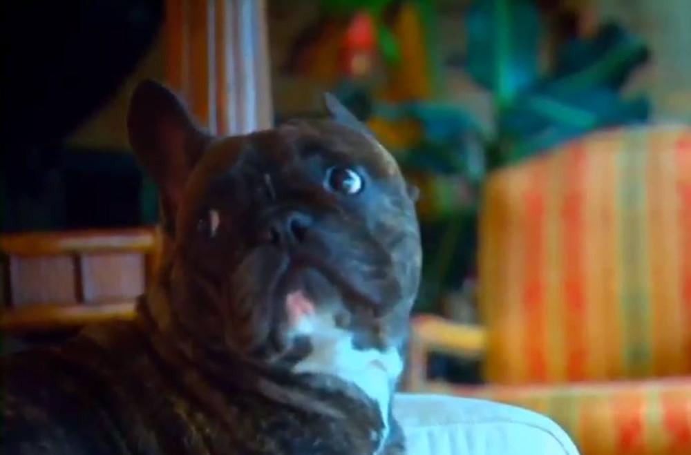 The artist's dog, Arnold, an adorable french bulldog