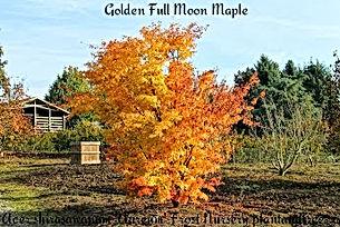 Golden Full Moon Maple