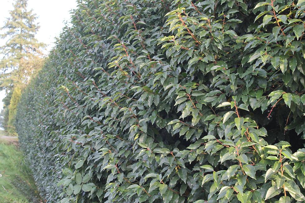 Prunus lusitanica Portuguese laurel hedg