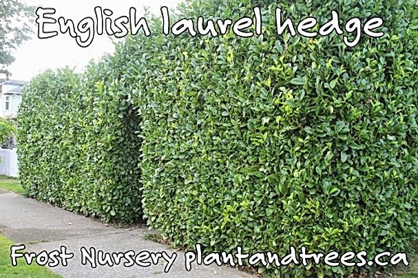 Prunus laurocerasus English laurel
