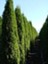 Thuja occ. 'Smaragd' Emerald Cedar