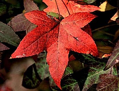 Liquidamber Sweet Gum Tree Leaf