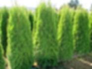 Emerald Hedging Cedars