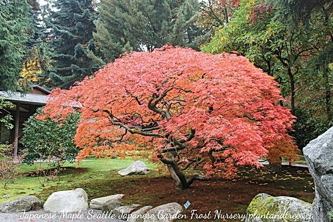 Japanerse Maple Tree