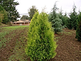 Thuja occ 'Yellow Ribbon'