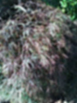 Japanese Lace Leaf Maple Tree