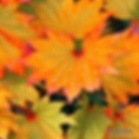 Leaves of Golden Full Moon Maple