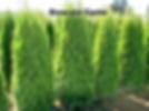 Thuja occ Smaragd cedar, Emerald Cedar