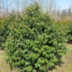 Prunus lusitanica Portuguese laurel