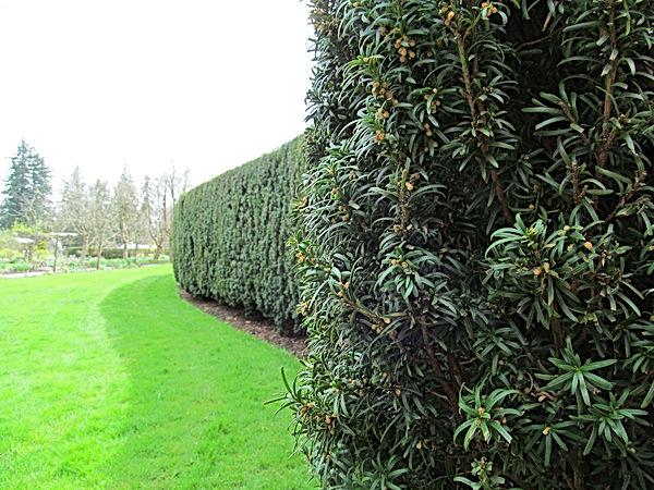 Taxus: Yew Hedge