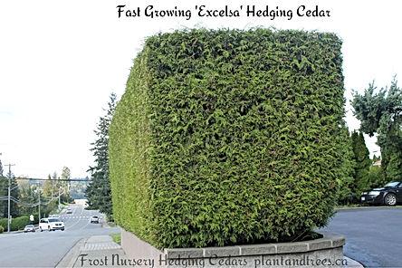 Excelsa Cedar