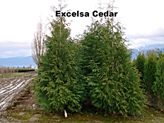Thuja plicata 'Excelsa' Ornamental ofWestern Red Cedar