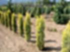 Taxus bacc fastigiata Aurea Golden Irish Yew