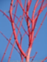 Coralbark Maple