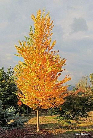 Karsura Tree