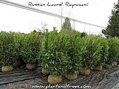 Russian laurel