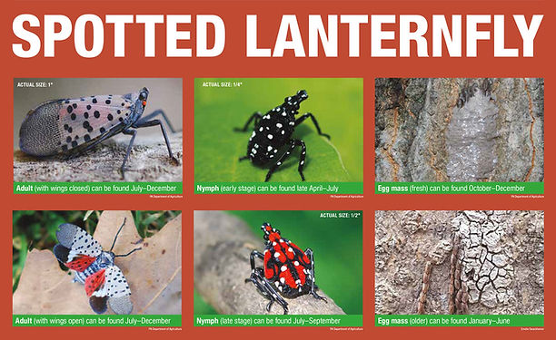 Spotted Lanterfly lifecycle.jpg