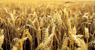 wheat-field-background.jpg