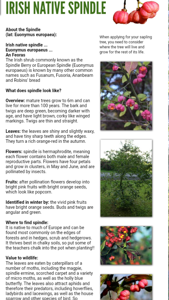 Spindle tree info.png