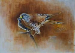 Faucon Crécerelle-Rock Kestrel