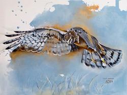 Busard - Harrier