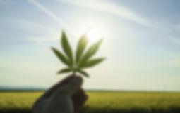 marijuana leafs.jpg