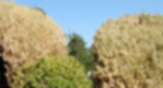 pyrale-buis-cimetiere-20.jpg