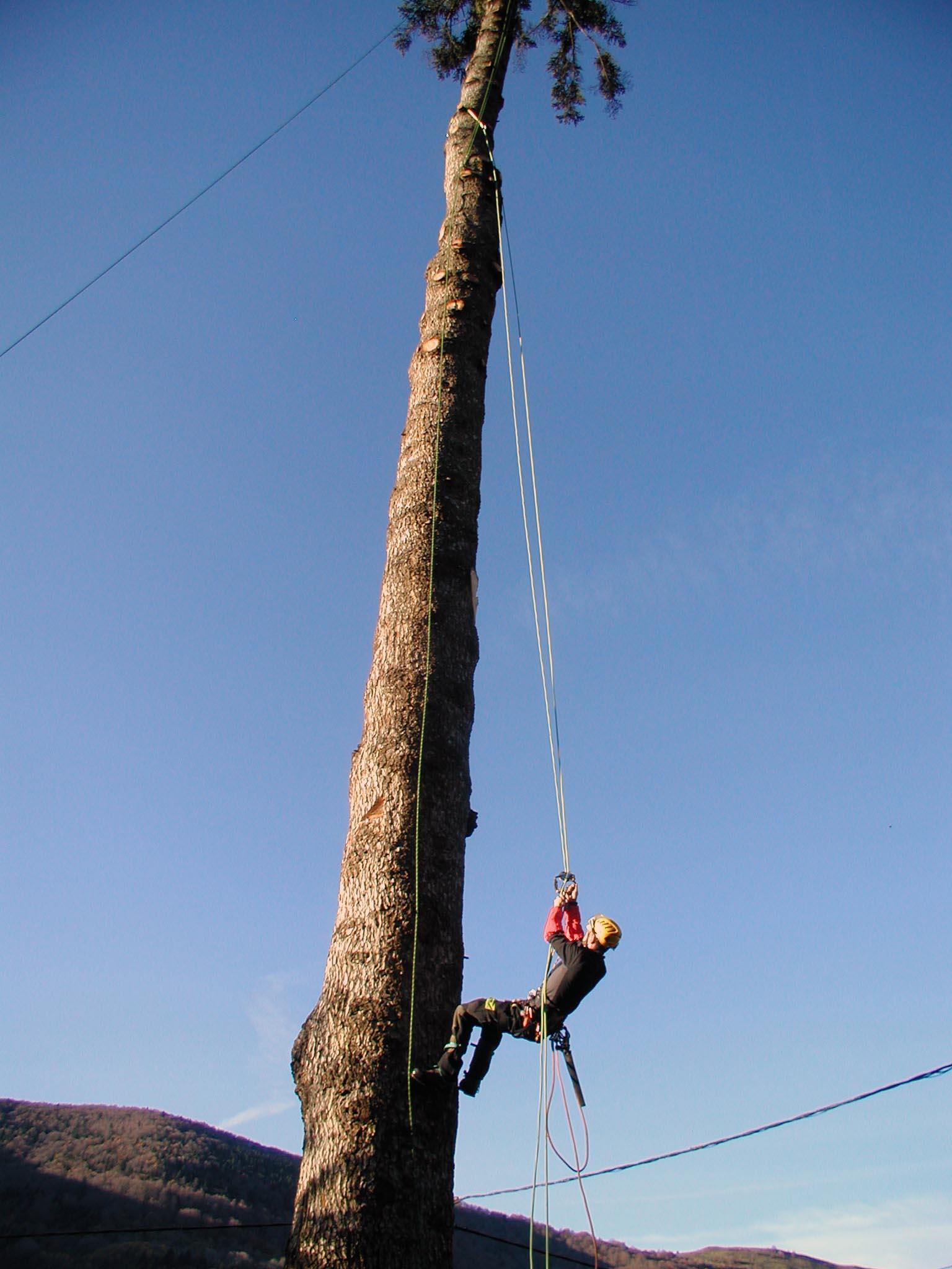 Abattage d'un Abiès de 45m