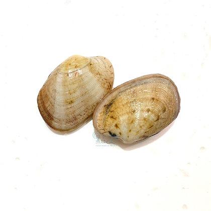 蕃薯硯 大硯 (半斤/ 0.5catty)