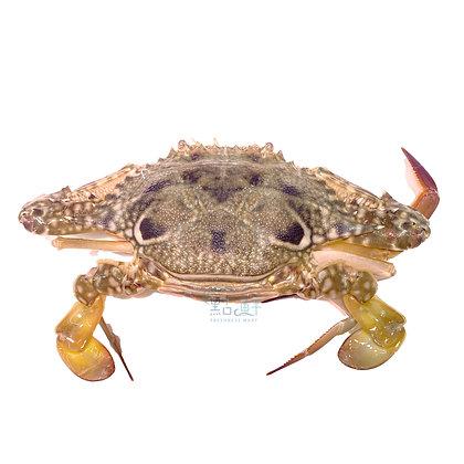 藍花蟹乸  (1隻 / 1pc)