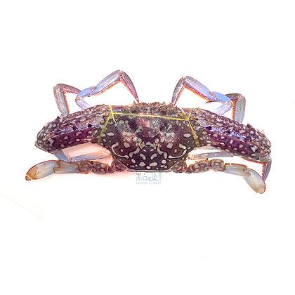 藍花蟹  (1斤/ 1catty)