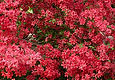 1-coral azalea 432x300jpg.jpg