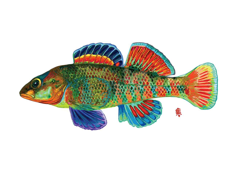 Rios Rainbow Darter