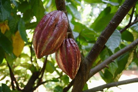 Medicine of the month: Cacao, gift from the Gods.