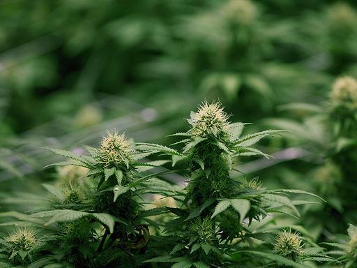 Cannabis plant.jpg