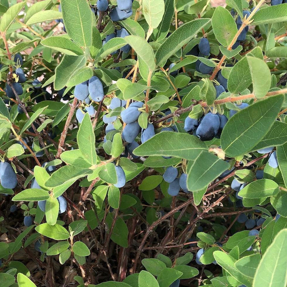beautiful honeyberries.jpg