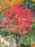 RiesCBurningBush40x30.jpg