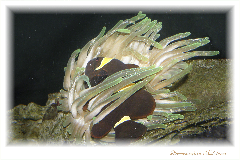 Anemonenfisch-Malediven