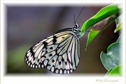 Weiße-Baumnymphe