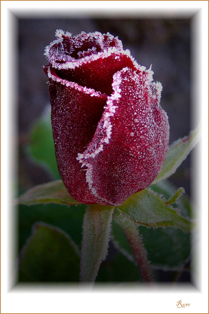 Rose-Winter