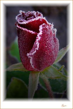 Rose-Winter