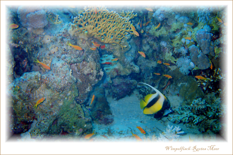 Wimpelfisch-Rootes Mehr