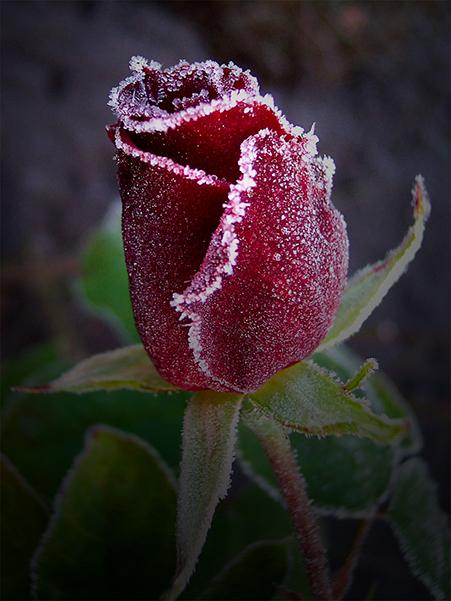 14_marotz_301_rose2.jpg