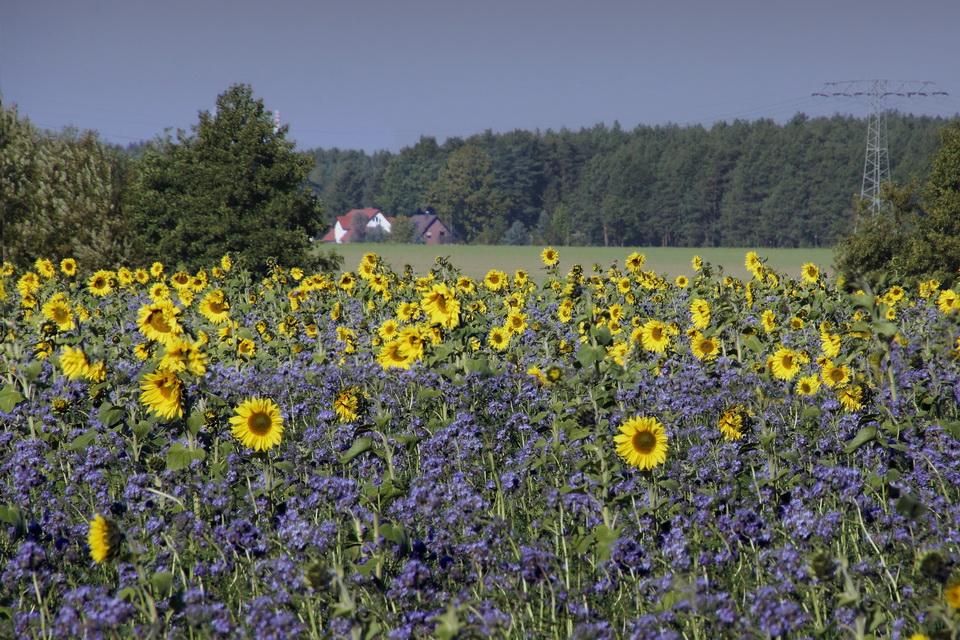 Bad Muskau_Sonnenblumen vorm Haus