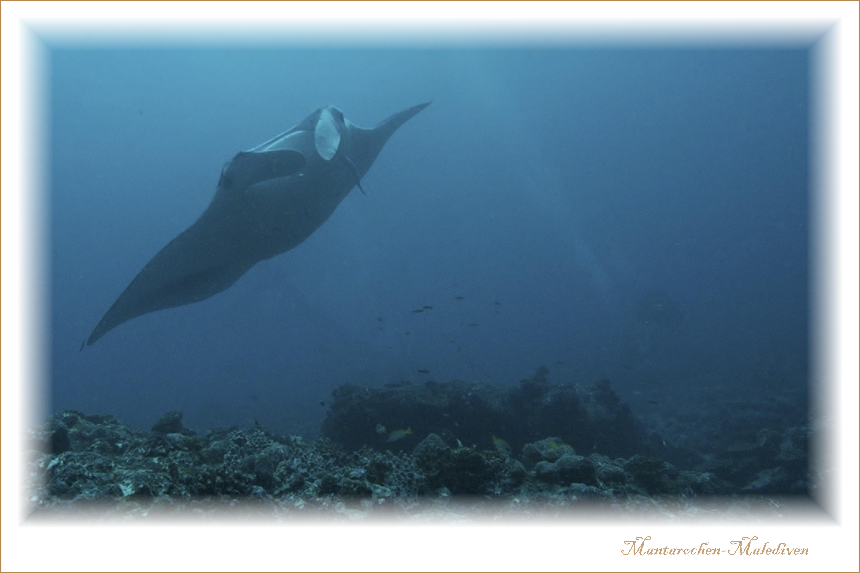 Mantarochen-Malediven
